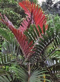 Chambeyronia macrocarpa PALMERA