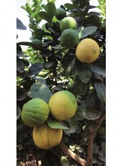 Citrus aurantifolia - Flor