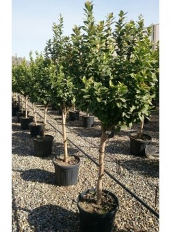 Citrus aurantifolia COPARAM C35 25L 10-12P
