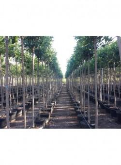 Citrus aurantium ARBOL C55 70L 10-12P