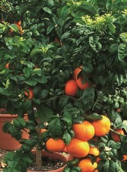 """Citrus aurantium """"Bouquet de Fleur"""""""