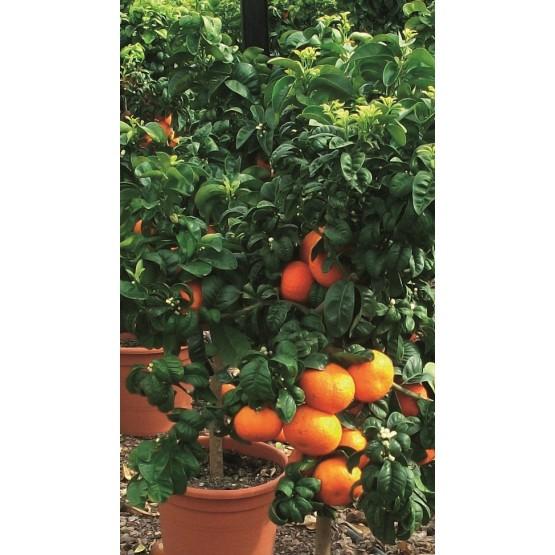"""Citrus aurantium """"Bouquet de Fleur"""" - Fruto"""
