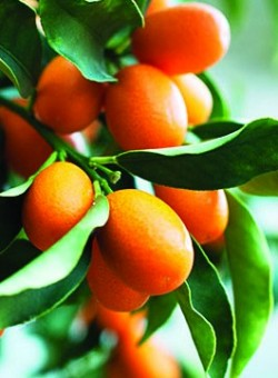 Citrus kumquat (fort. margarita)