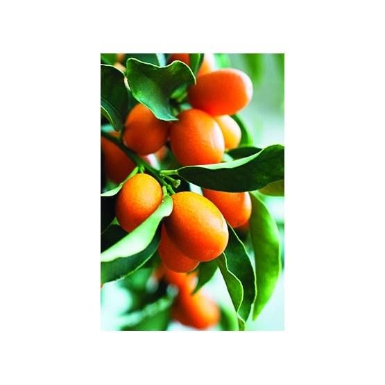 Citrus kumquat -Fruto
