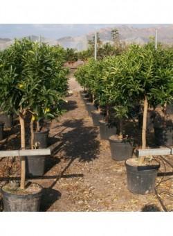 Citrus kumquat C40 35L COPARAM 12-14P