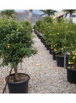 Citrus kumquat C50 ARBOL 18-25P