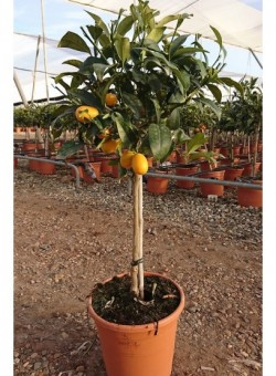 Citrus kumquat CT22 6L COPAT/3