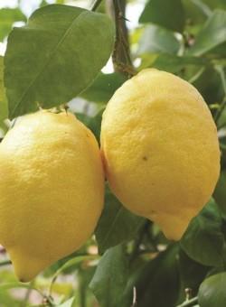 Citrus limon - Fruto