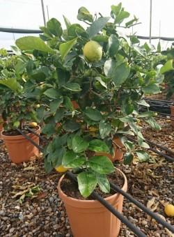 Citrus limon ARBUSTO C30 15L