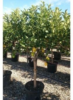 Citrus limon COPARAM C35 25L