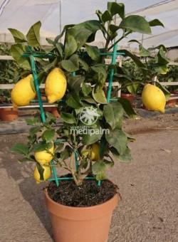 Citrus limon ESPALDERA CT24 6L