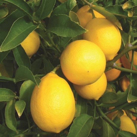 Citrus meyeri - Fruto