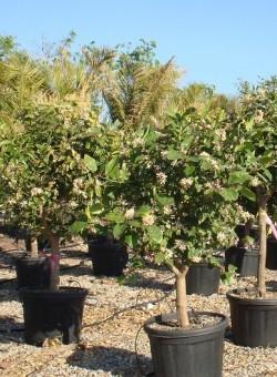 Citrus meyeri COPARAM C45 14-18P