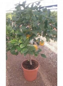 Citrus meyeri COPAT/3 CT22 6L