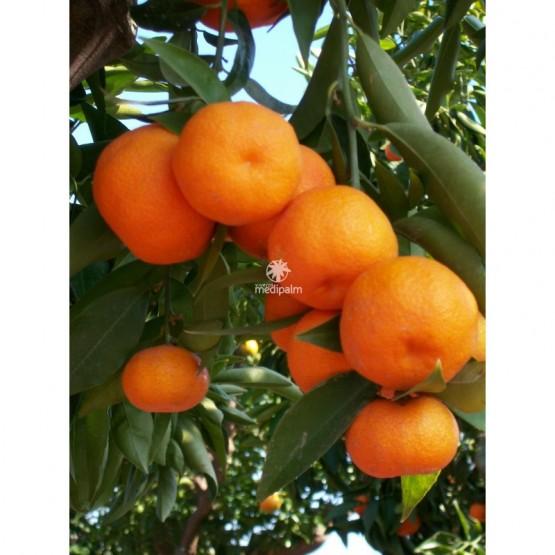 Citrus reticulata - Fruto