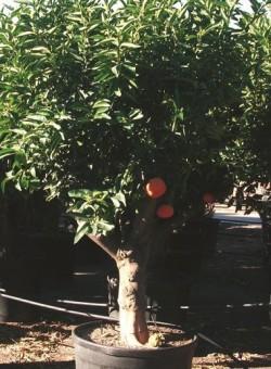 Citrus reticulata ARBOL