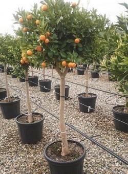 Citrus reticulata COPARAM C40 35L 14-18P