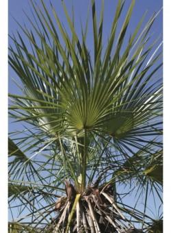 Trithrinax brasiliensis PALMERA