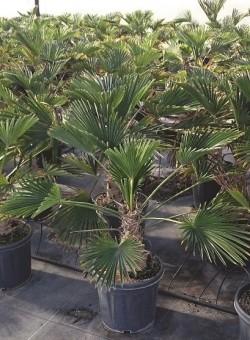 Trachycarpus wagnerianus PALMERA