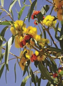 Eucalyptus erythrocorys ARBOL