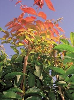 Pistacia chinensis ARBOL