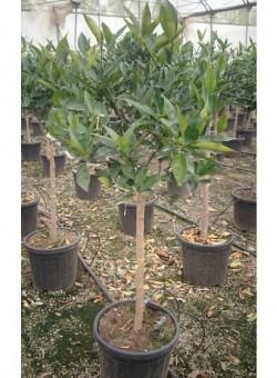 Citrus kucle COPARAM C30 18L 8-10P