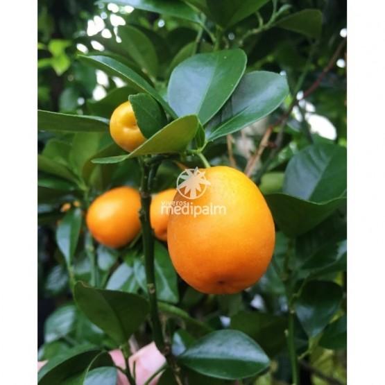 Citrus kucle - Fruto