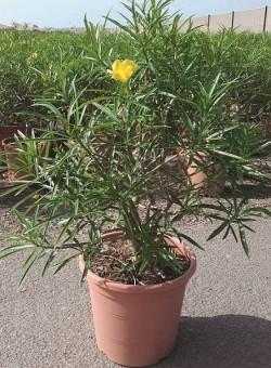 Thevetia peruviana ARBUSTO