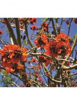 Erythrina caffra - Flor