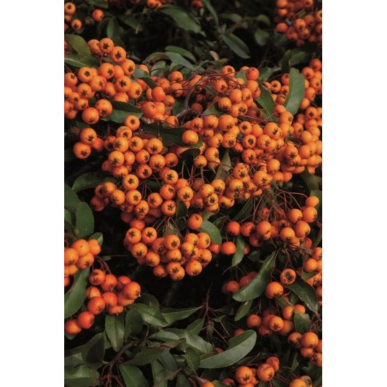 "Pyracantha ""Mohave"" - Fruto"