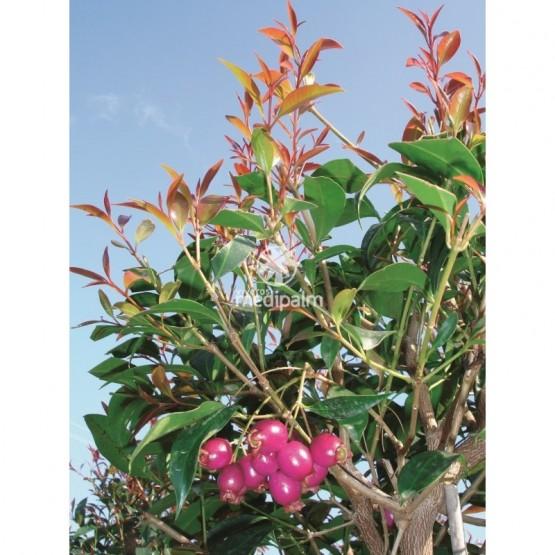 Eugenia myrtifolia ARBOL