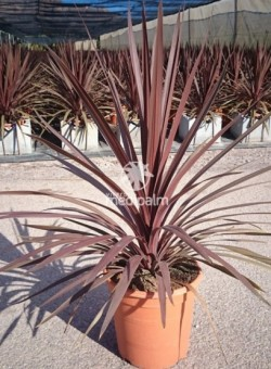 "Cordyline australis ""Red Star"" SUCULENTA 8L"