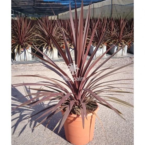"Cordyline australis ""Red Star"" SUCULENTA 8L"