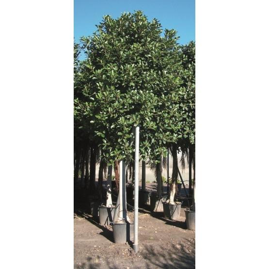 Ficus australis ARBOL
