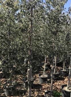 Quercus suber ARBOL