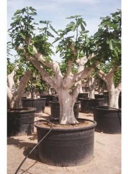 Ficus carica EJEMPLAR