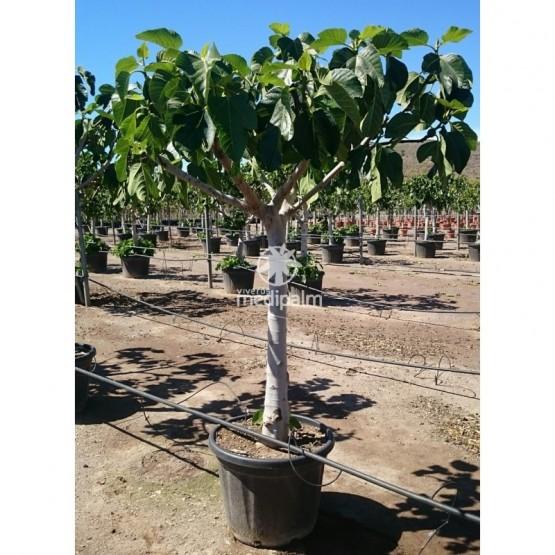 Ficus carica COPARAM
