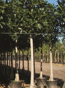 Ficus macrophylla ARBOL