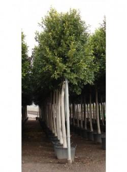 """Ficus nitida """"Retusa"""""""