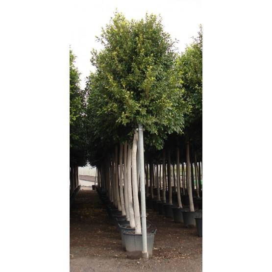 Ficus nitida retusa ARBOL