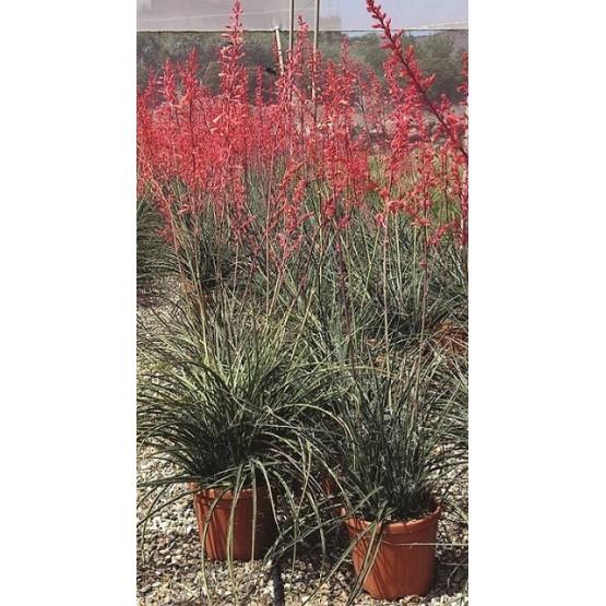 Hesperaloe parviflora SUCULENTA