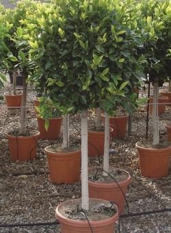 Ficus nitida retusa COPAT/3