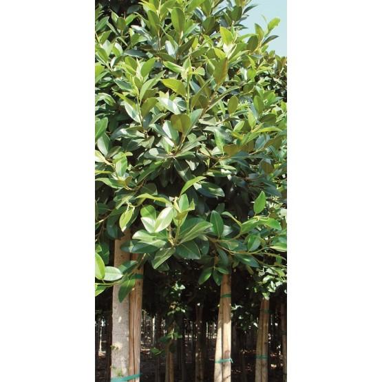 Ficus rubiginosa ARBOL