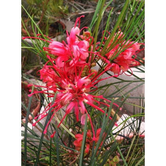 "Grevillea ""Johnsonii"" - Flor"