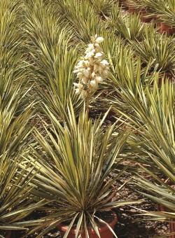"Yucca filamentosa ""Variegata"""