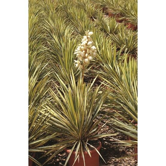 "Yucca filamentosa ""Variegata"" SUCULENTA"