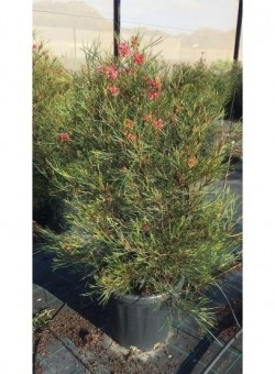 "Grevillea ""Johnsonii"" 25L ARBUSTO"