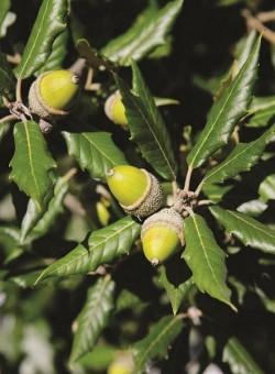 Quercus ilex ARBOL