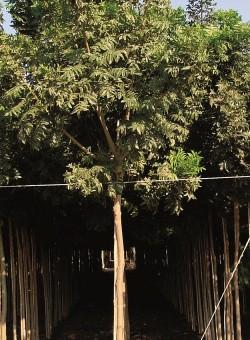 Harpephyllum caffrum ARBOL