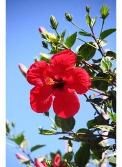 Hibiscus rosa-sinensis ARBOL